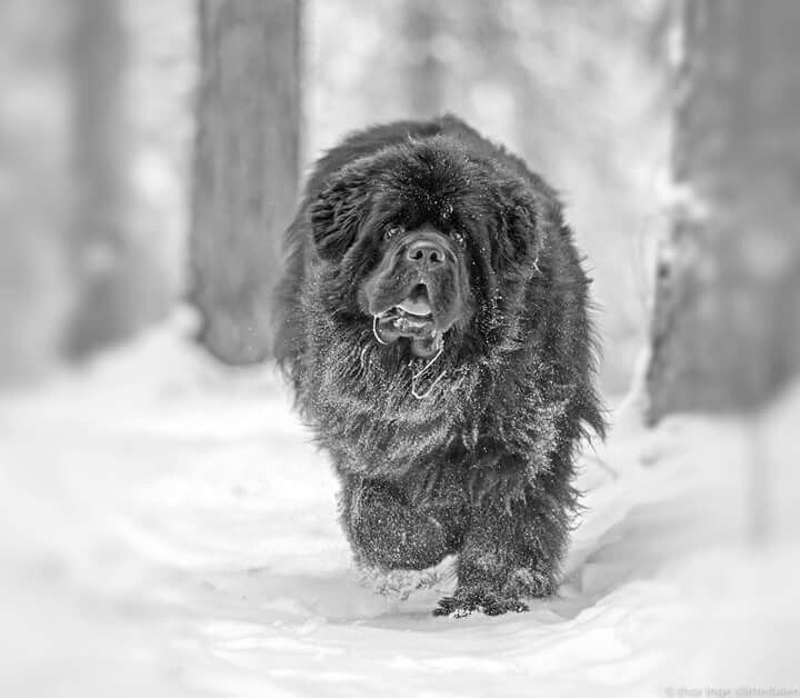 Download Newfoundland Chubby Adorable Dog - 0f4f13f4b13fa45032ab07f46c7931b6  Picture_21588  .jpg