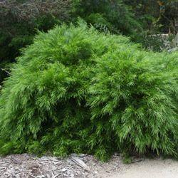 Acacia Cognata Nurseries Online Australia Plants Australian Native Plants Weeping Evergreen Trees