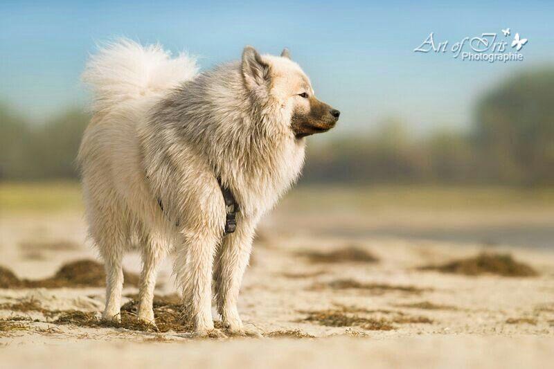 Bacima Dog House Animals Eurasier