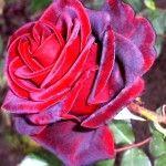 роза «Black Magic»