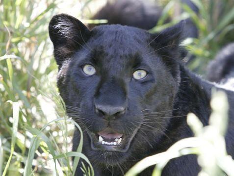 unterschied zwischen panther und puma