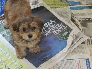 Penny Yorkipoo Is An Adoptable Yorkshire Terrier Yorkie Dog In Gainesville Ga With Images Pampered Dogs Yorkie Poodle