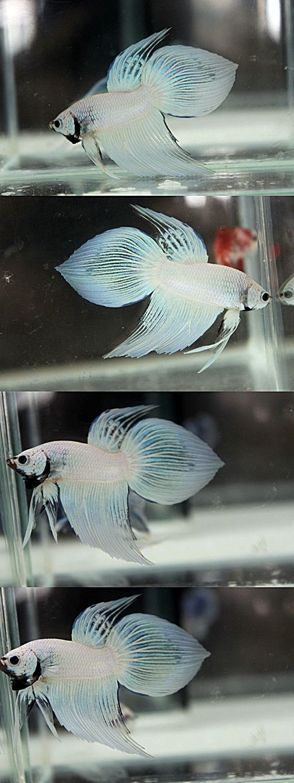 Fwbettasvt1414586477 Platinum White Dragon Vt 01 Betta Fish Tank Betta Fish Betta Fish Care