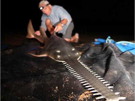 20110425-sawfish-river.jpg (468×350) | On the edge of EXTINCTION ...