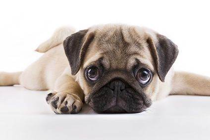10 Wahrheiten über den Mops Hund zum Abschrecken oder ...