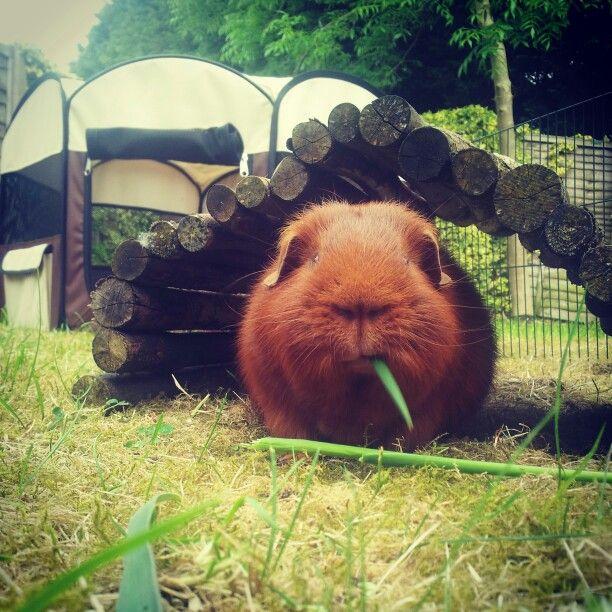 Guinea pig munching grass