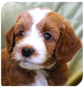 Red Australian Labradoodle Puppy With White Markings So Handsome