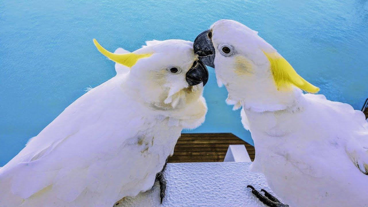 طيور الحب Love Birds Cockatoo Animals White Bird