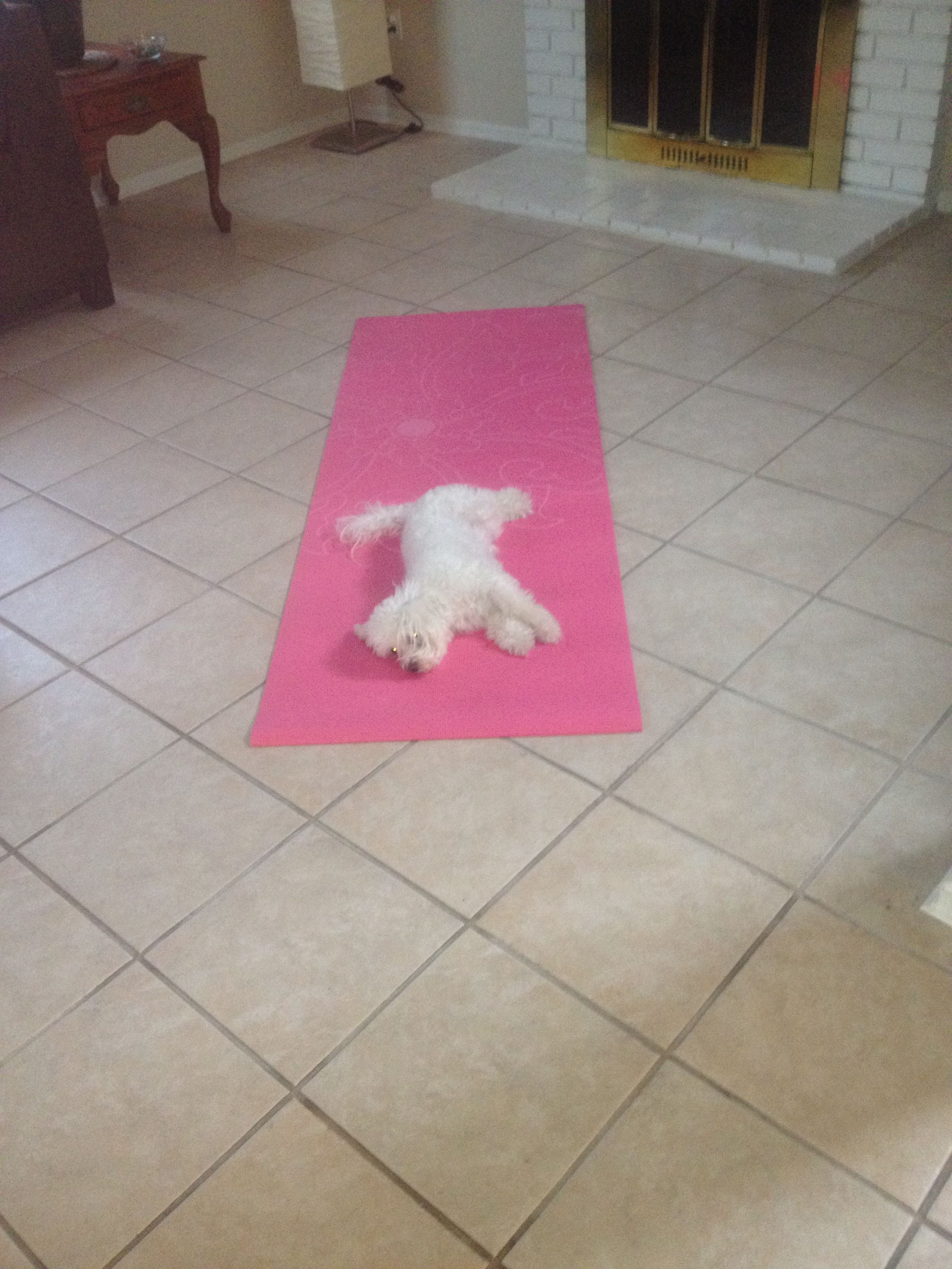 Cute Yoga Dogs maltipoo yoga dogs cute
