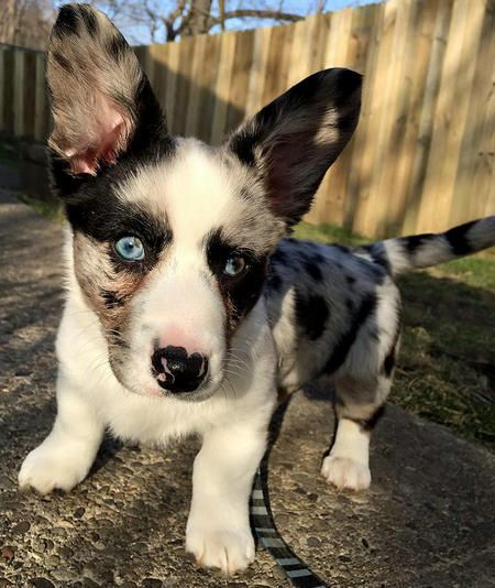 Winslow The Cardigan Welsh Corgi Winslow Blue Is An Adorable Welsh