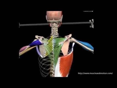 M. latissimus dorsi | Know it Anatomie | Pinterest