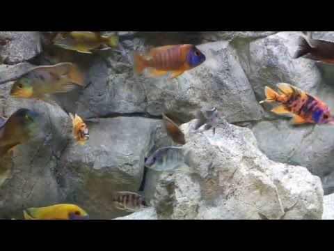 How To Setup An African Cichlid Tank Youtube African Cichlid Tank African Cichlids Aquarium Systems