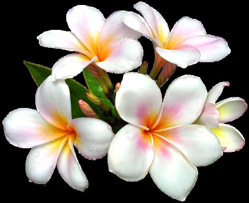 Frangipani 14 Frangipani Galerij Flower Clipart Flower Painting White Flower Png