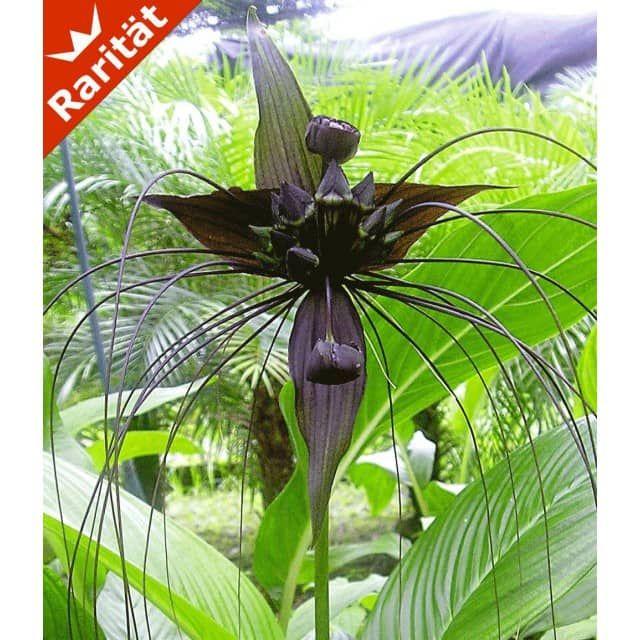 Schwarze Tacca, 1 Knolle - BALDUR-Garten GmbH Garten Pinterest 1\