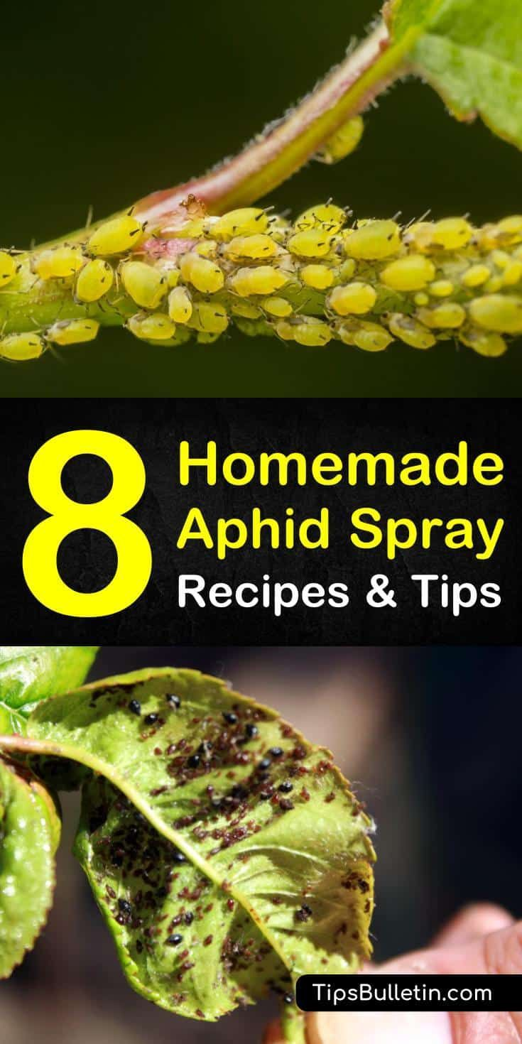 Discover 6 amazing homemade recipes and tips for a homemade aphid spray for organic pest control. If you have aphids and spider mites on your roses and plants eating the leaves, you can use ingredients you have around your house to get rid of them, like water. #killaphids #diy #pestcontrol #aphids #garden pests