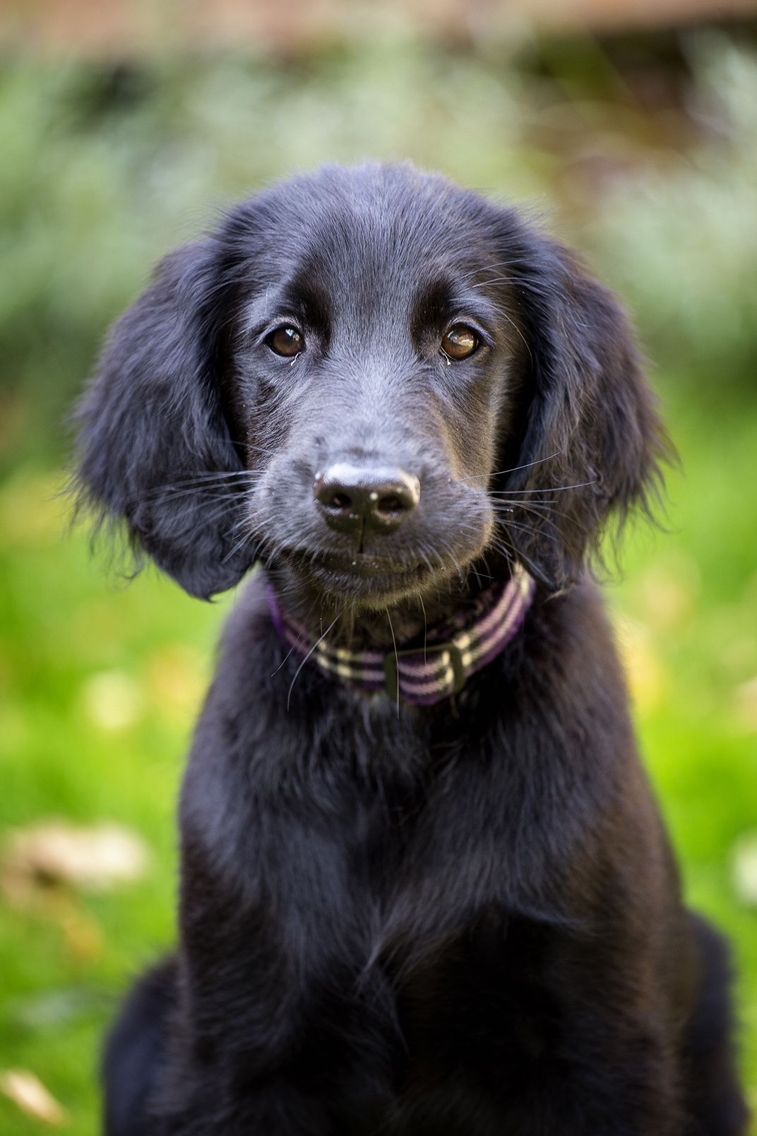 Flatcoated Retriever Puppy 14 Weeks Retriever Puppy Flat