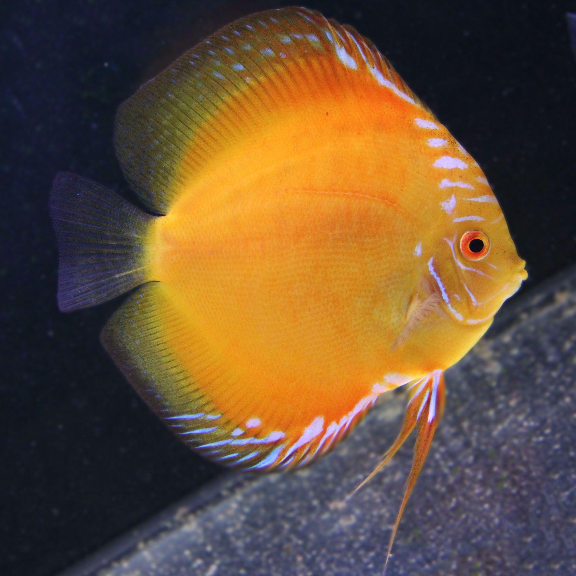 Edit By Paul203 500px Discus Fish Discus Aquarium Aquarium Fish