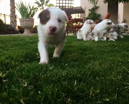 Litter Of 7 Border Collie Puppies For Sale In El Paso Tx Adn 34177 On Puppyfinder Com Gender Border Collie Puppies Collie Puppies For Sale Puppies For Sale