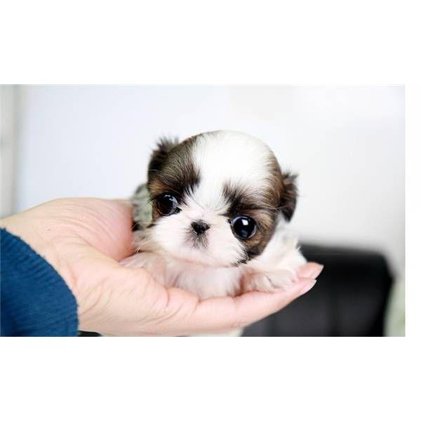 Baby Jazz Precious Teacup Shih Tzu Female Shih Tzu Cute Baby Animals Shitzu Puppies