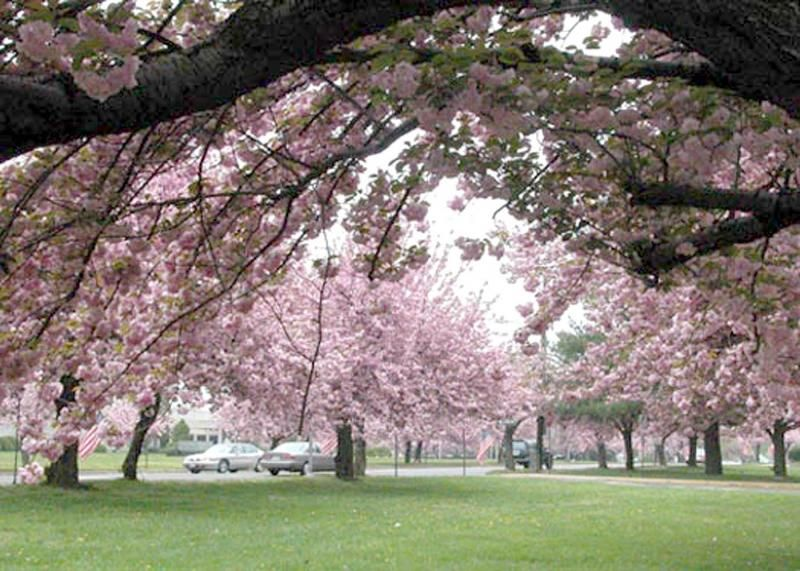 Cherry Hill Nj Events News Schools And Restaurants Cherry Hill Tree Outdoor