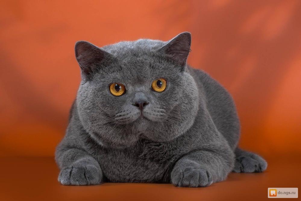 британская кошка фото котенок время