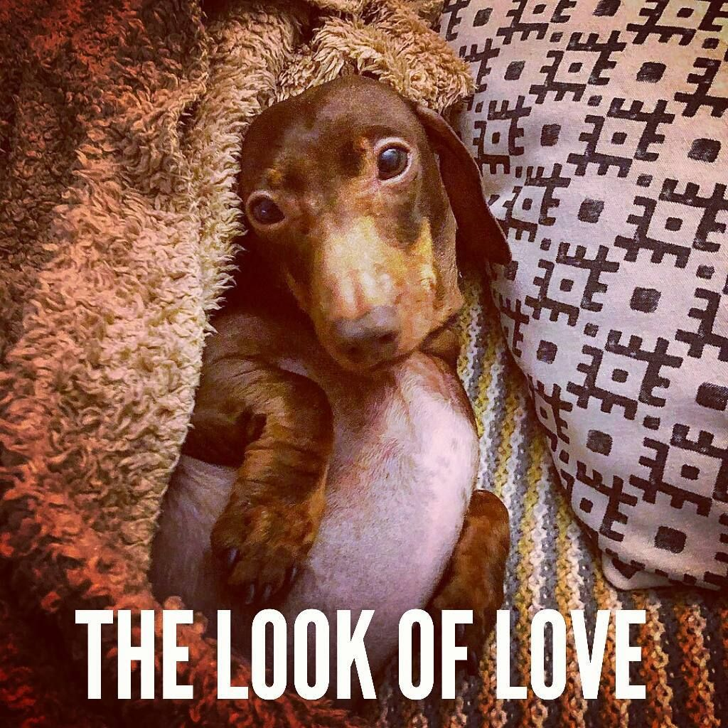 Dachshund Quotes Pictures Mydachshundfamily On Instagram The Look Of Love Pop Sausage Dachshund Quotes Funny Dachshund Dachshund Love