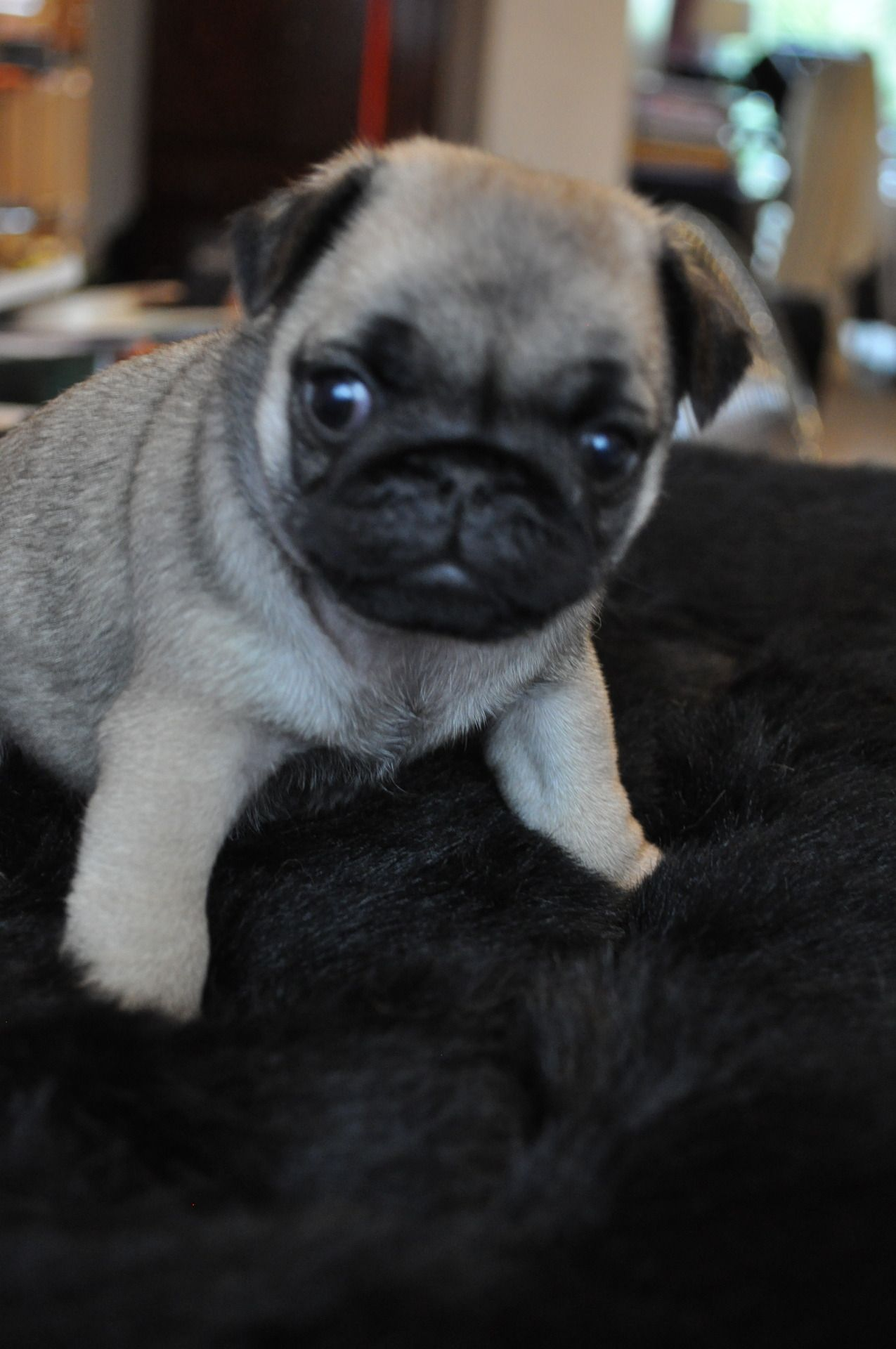 Cute Pug Puppy Loved By Teens At Age Of Adventure Nz Http Www