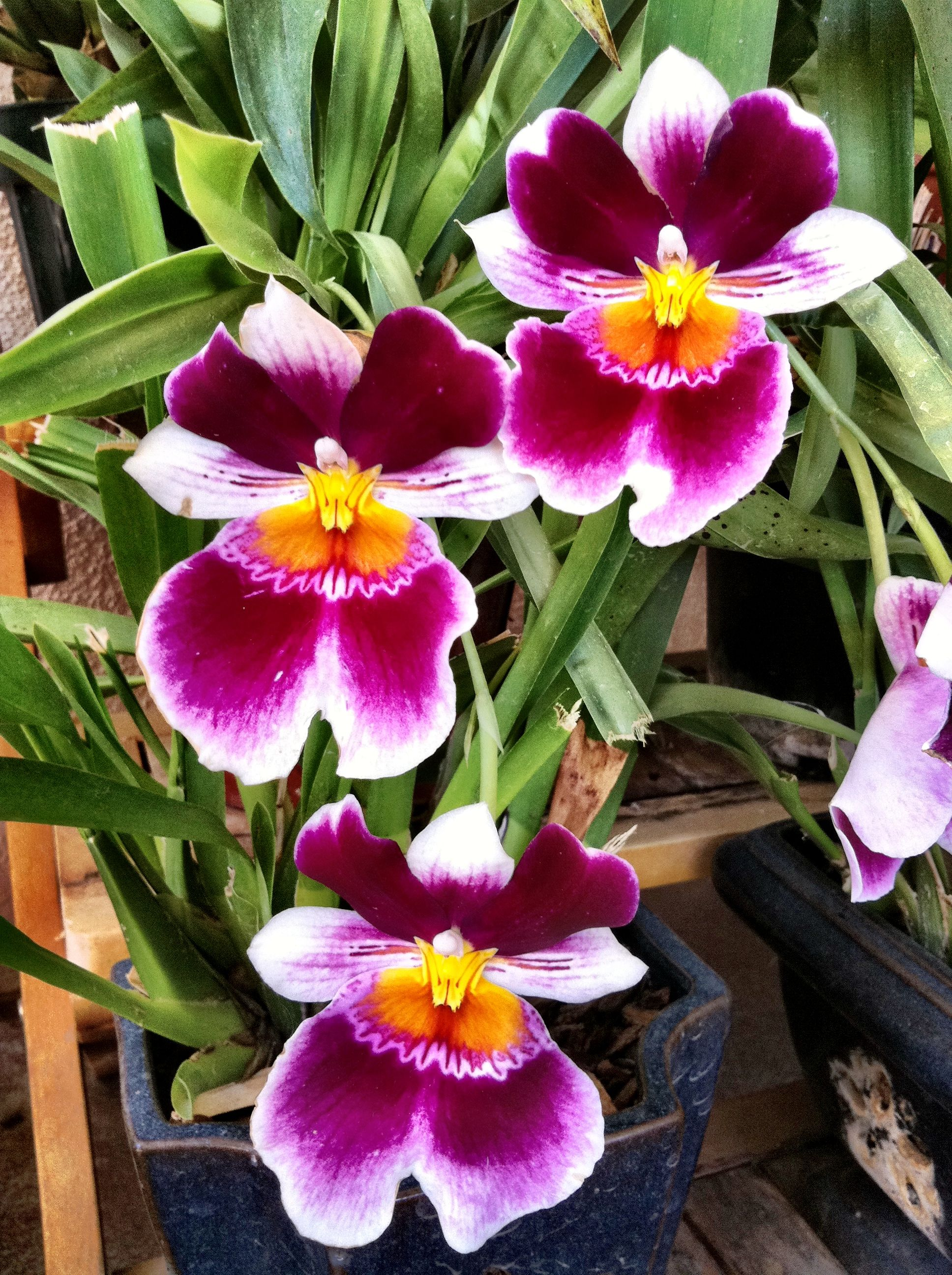 Miltonia, care at home. How to grow orchids at home