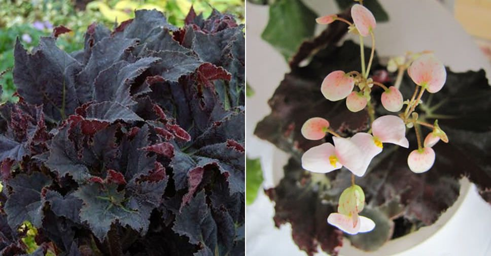 Begonia Black Mamba Is A Medium Sized Begonia With Very Large Star Shaped Almost Black Leaves Begonia Plantoped Purple Plants Begonia Planting Flowers