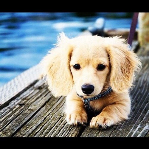 This Is Seashell My Golden Retriever Dachshund Mix Cute Animals