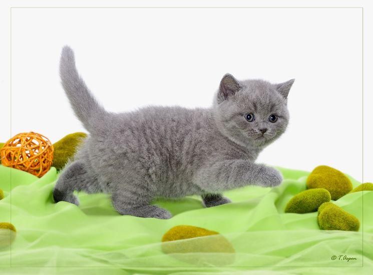 British Empire Cats Gallery Kittens Kittens British