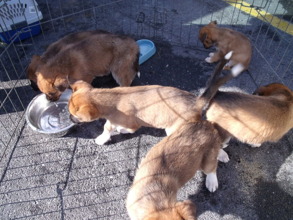 Boxer Lab Mix Boxer Lab Mix Puppies For Lab Mix Puppies
