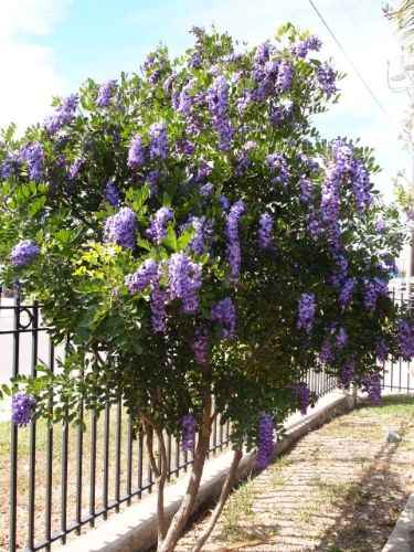 Texas Mountain Laurel Sophora Secundiflora Plant Type Tree Size H X W 15 20 Ft 6 10 Hardiness F Growth Rate Slow