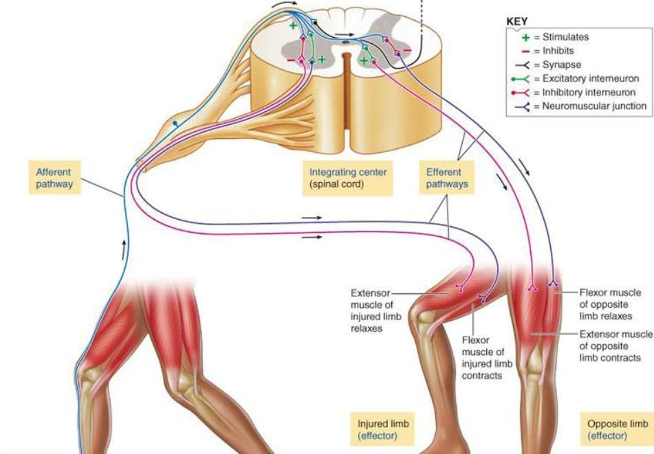 Neural Pathways Nervous System Pinterest Anatomy Nervous