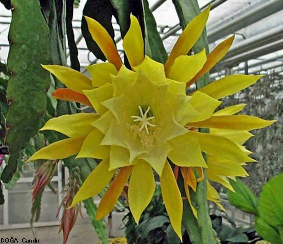 Flowers unique flowers beautiful flowers orchid cactus cactus flower - Flowering Plants Rosa Amarela Succulent Plantscacticactus Flowerorchid