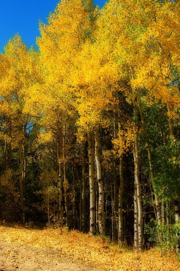 Autumn's Palette.  Aspen trees in fall color near Crested Butte, Colorado.  adamschallau photography