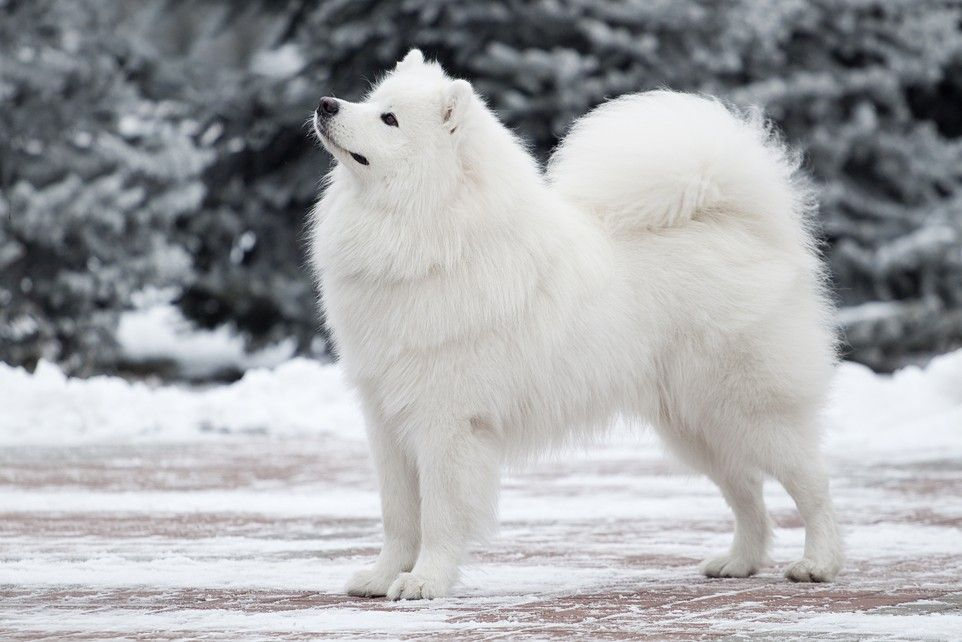 10 Of The Best Cold Weather Dog Breeds Cold Weather Dogs Dog