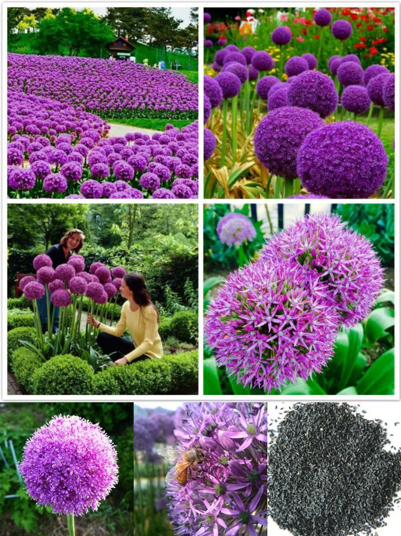 Egrow 100 Pcs Garden Outdoor Giant Allium Giganteum Beautiful Flower Seeds Bonsai Plant Seeds Allium Flowers Allium Giganteum Bonsai Plants