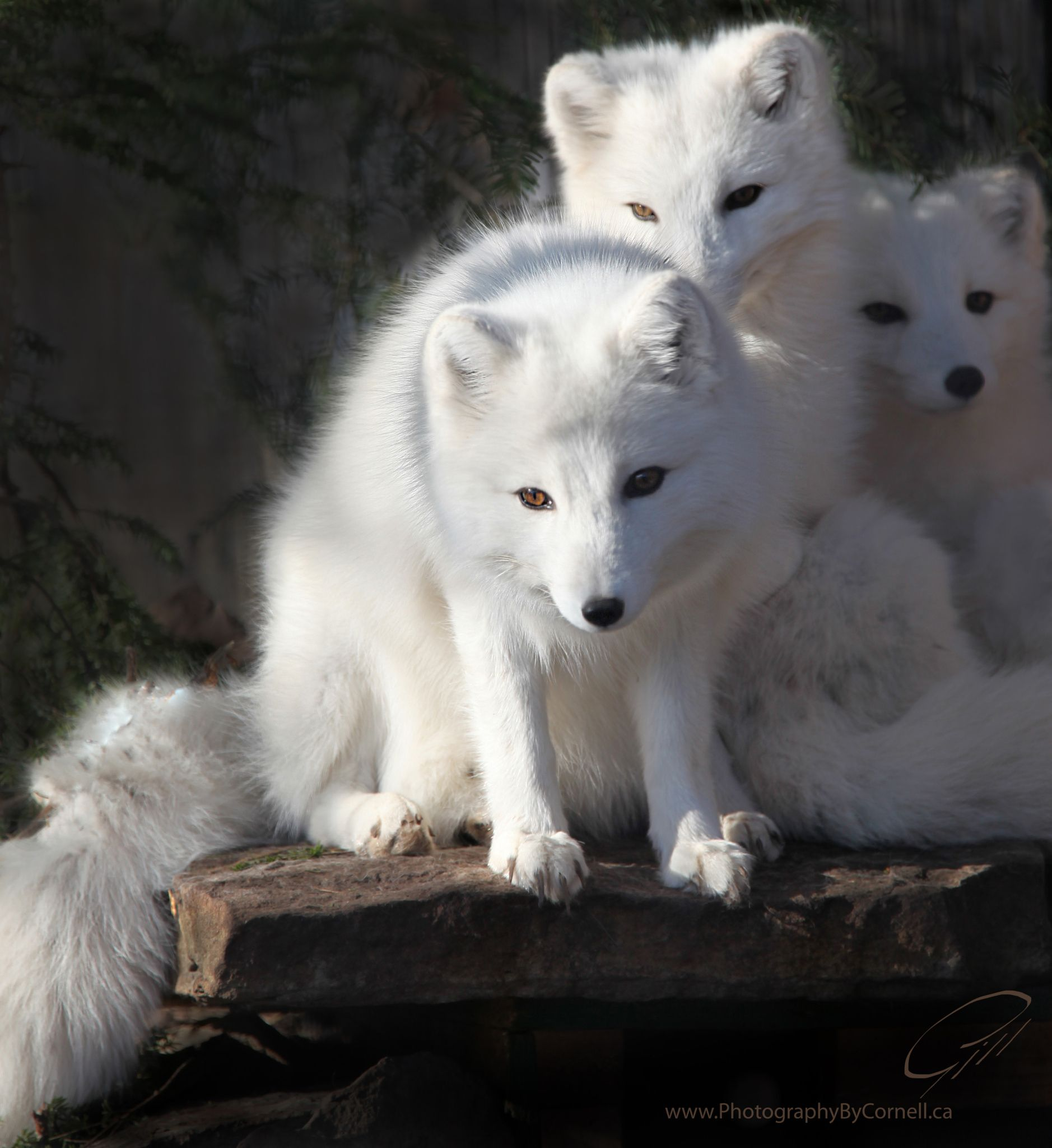 Arctic Foxes by Cornell Gill on 500px | Spirit Animal