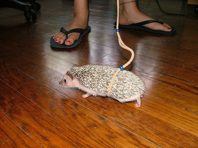 Hedgehog Leashes: They Exist | Flickr