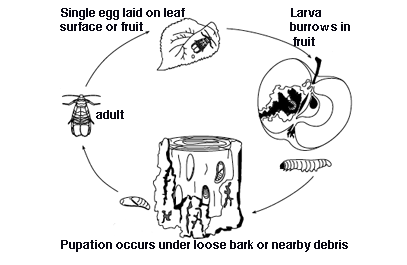 Organic control of codling moth at various stages of the