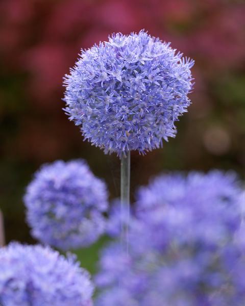Allium Azureum Blue Flowers Allium Flowers Plants