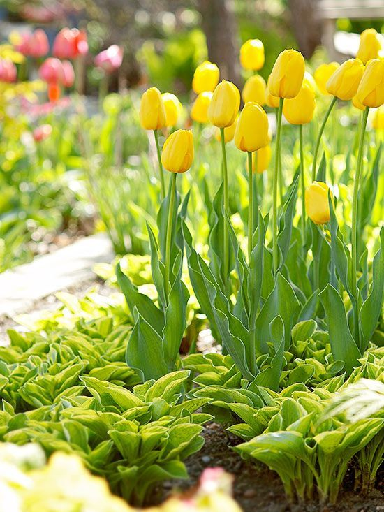 Designing with spring bulbs pinterest daffodils shrub and designing with spring bulbs mightylinksfo
