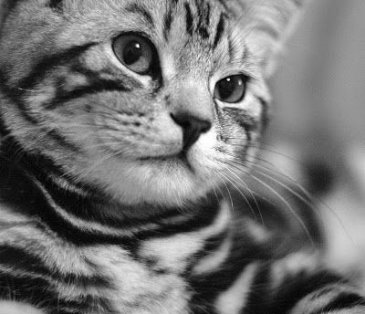 I M Biased For British Shorthair Silver Tabbies Look At How