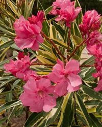 Twist of Pink Variegated Oleander