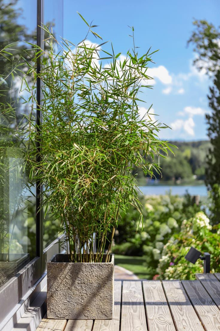 SchirmBambus 'Jumbo' Bambus sichtschutz, Sichtschutz