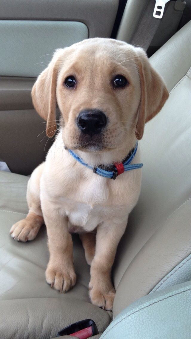 Yellow Lab Labrador Retriever Puppies Labrador Retriever Labrador Puppy