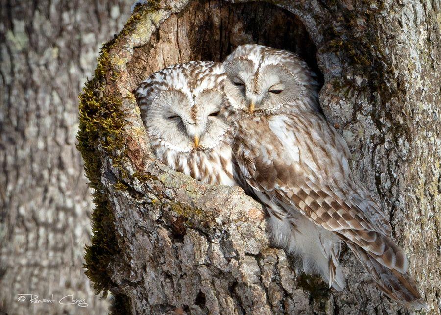 .:Ural Owl Couple:. by RHCheng.deviantart.com on @DeviantArt