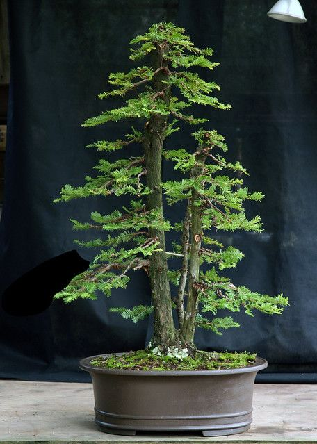 Redwood virt 1 | This is a coast redwood bonsai. The three p… | Flickr