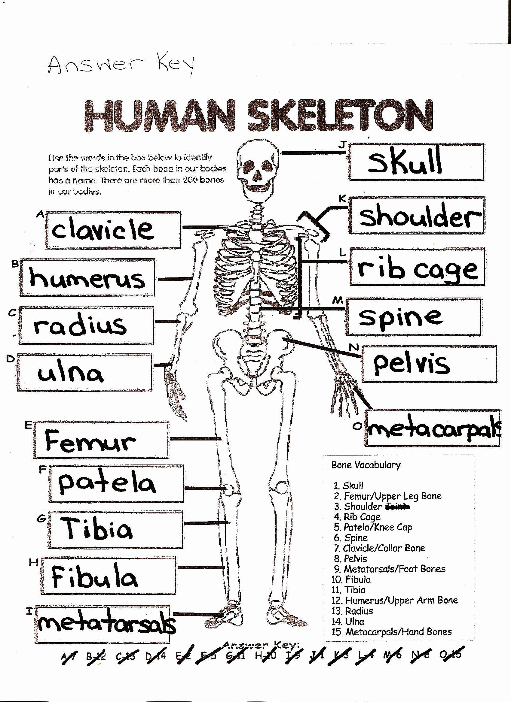 50 Skeletal System Worksheet In